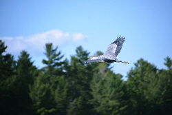 French River Great Blue Heron, Birdwatching, Canada, Wildlife, Outdoor, Nature, wilderness, French River Provincial Park, Bear's Den Lodge