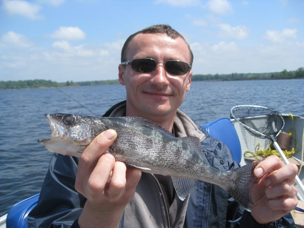 Blue walleye caught and released by man, fishing French River