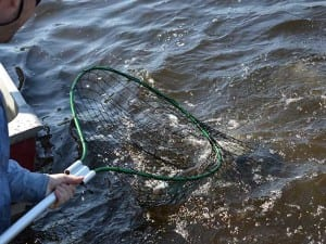 A man netting a French River musky