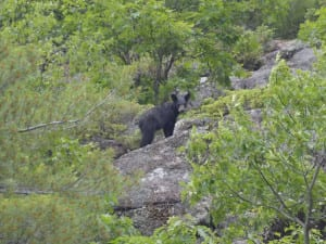 Baby Black Bear in the French River Wilderness
