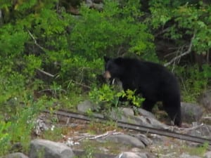 Black Bear near forest clearing, French River Provincial Park.