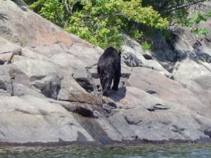 Black Bear climbing out of water onto shoreline.