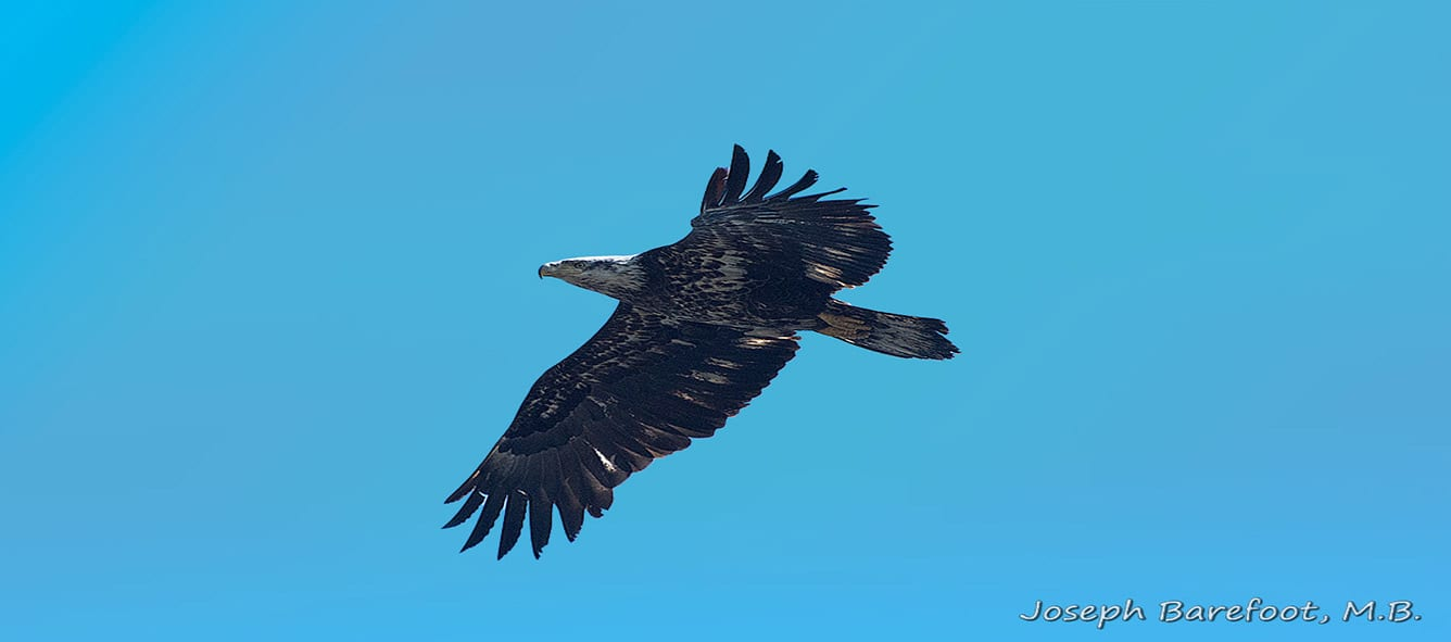 Bald Eagle, French River Wildlife, DiscoverON, Photography, Explorer's Edge