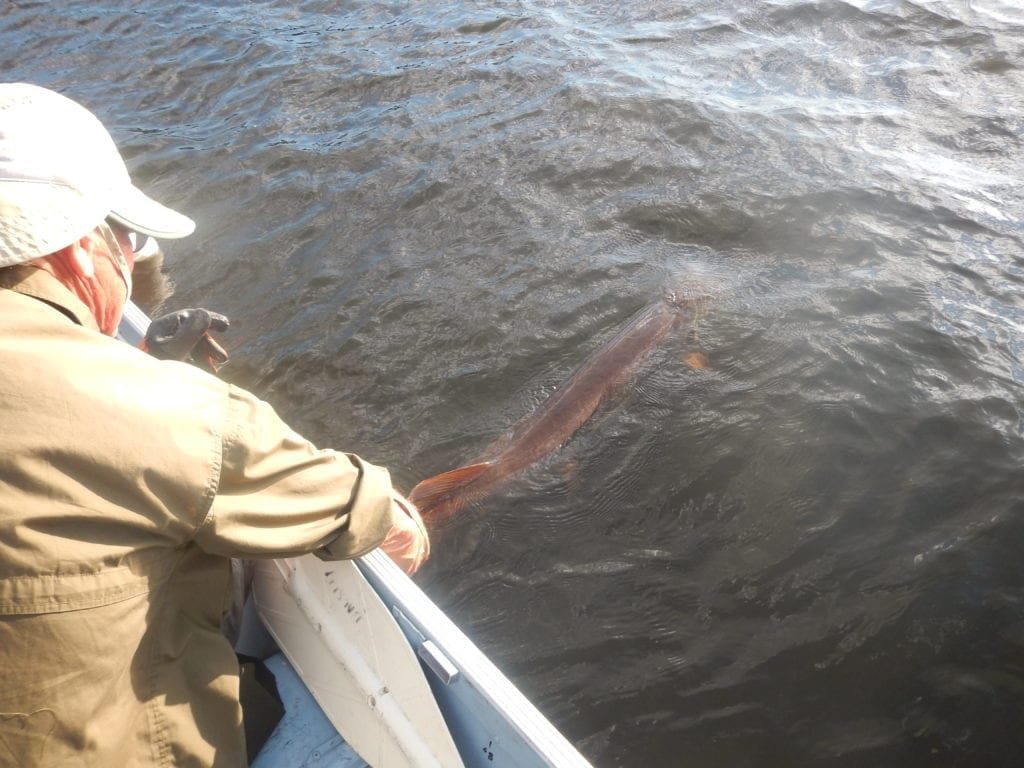 Catch and Release, French River Muskie Fishing