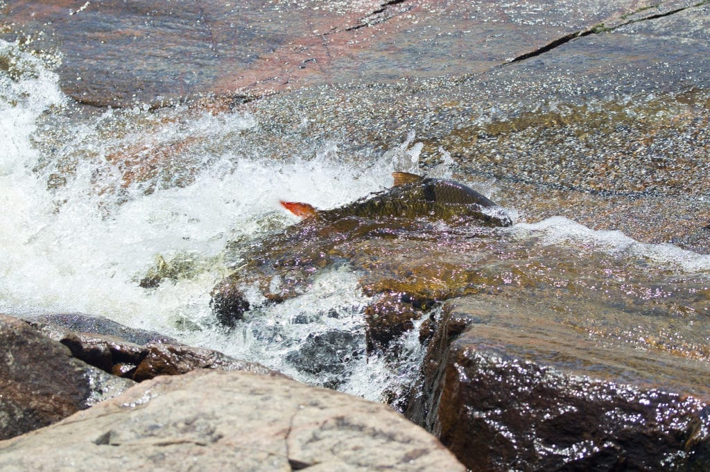 Redfin Sucker, Fish spawn, Spring 2017, Fish swimming up stream