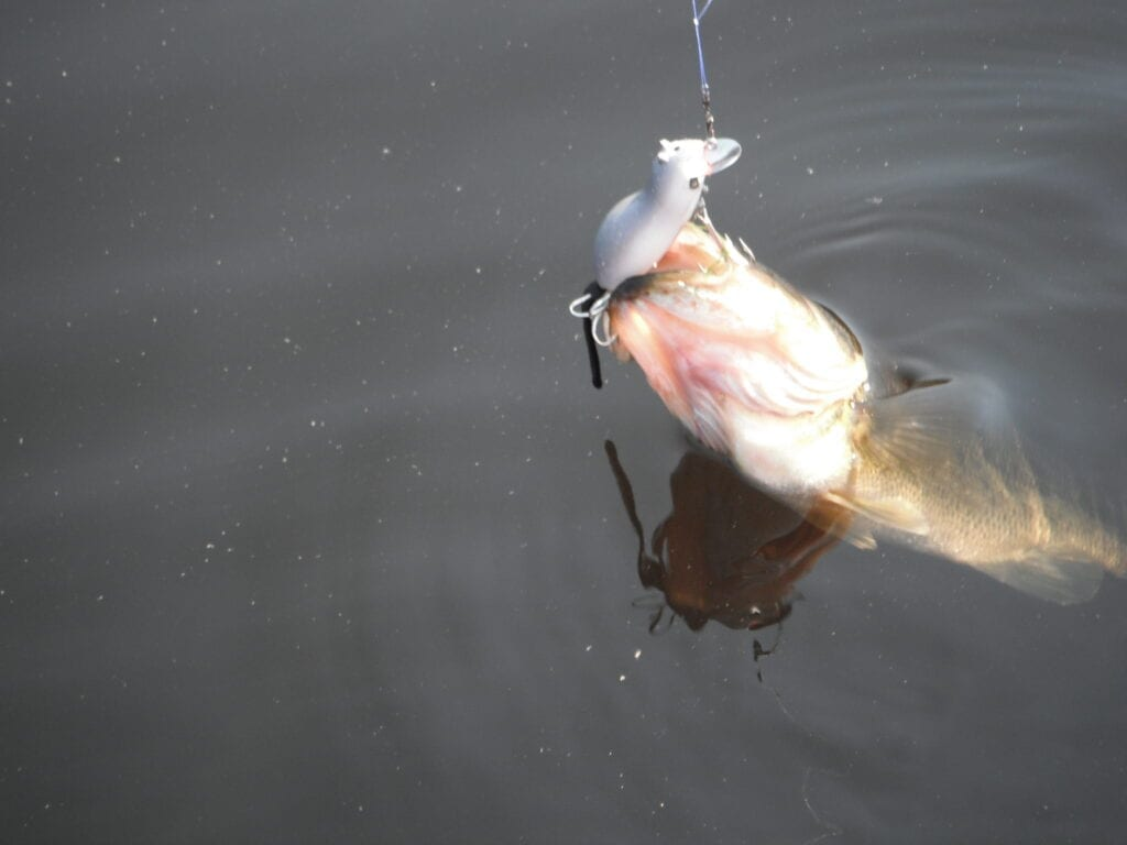 Example of a French River Largemouth Bass being reeled in.